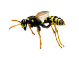 wasp isolated on white - 175736422