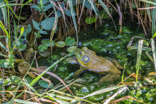 Aluminium Kikker Frog hidding in leafy pond