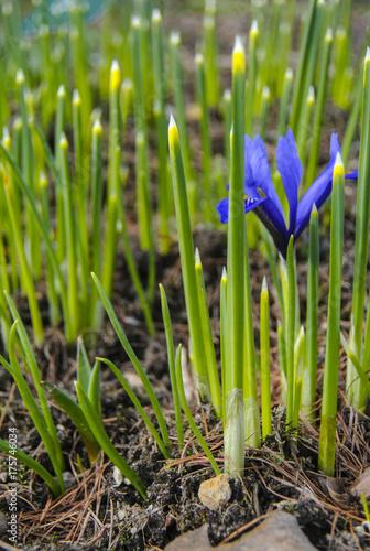 Fotobehang Iris first flowers of the spring