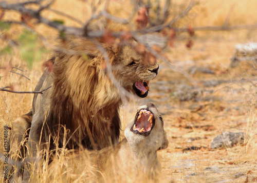 Aluminium Lion Lions mating and roaring at each other with mouths open in Etosha