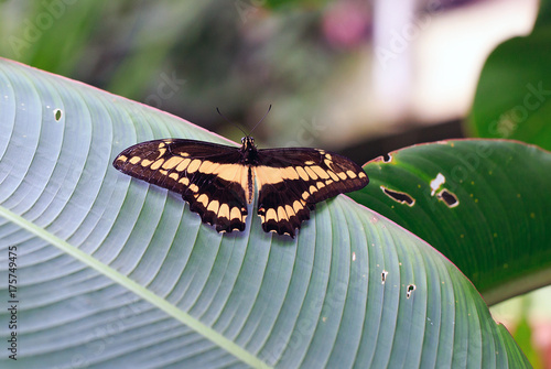 Fotobehang Vlinder Brown and cream butterfly with wings outstretched resting on a green ridged leaf