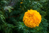 Yellow marigold with water drops in the garden - 175753456