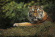 Tygrys syberyjski śpiący na skale.