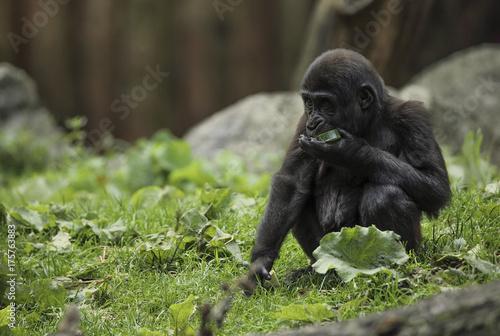 Fotobehang Aap Młody goryl