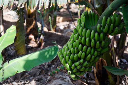 Deurstickers Canarische Eilanden Sweet bananas stem Canary Islands tropical fruit farm