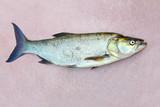 The Asp fish - Aspius Aspius. Fishing catch of predatory fish. - 175765616