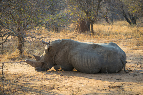 Fotobehang Neushoorn Black rhino laying down with Oxpecker birds in early morning