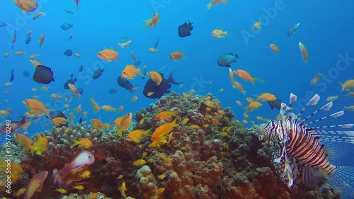 Fotobehang Koraalriffen Lionfish with Colorful Reef. Picture of colorful tropical common-lionfish (Pterois miles) and corals in the tropical reef of the Red Sea, Dahab, Egypt.