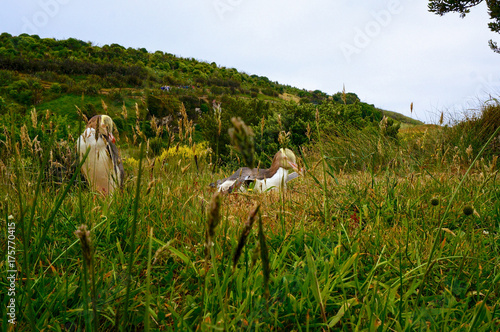 Fotobehang Pinguin Rare male & female Yellow Eyed Penguins in New Zealand