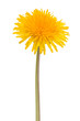 Dandelion flower isolated on white background cutout - 175772846