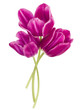 Three lilac tulip flowers isolated on white background cutout - 175774059