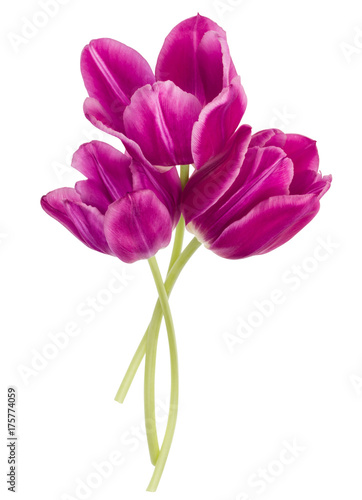 Three lilac tulip flowers isolated on white background cutout Plakat