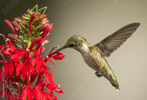 Ruby-throated Hummingbird z kardynałem Flower