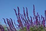 セージの花 青空  - 175778652