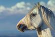 White Stallion Portrait on Cloudy Blue Sky Background