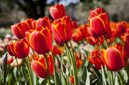 Fotobehang Tulpen Tulip