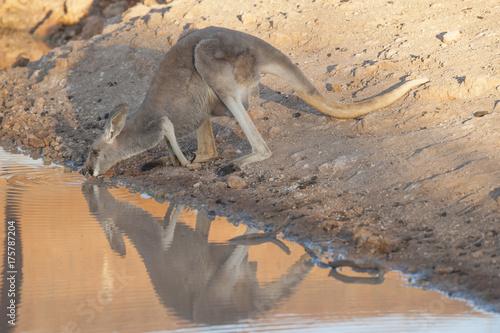 Aluminium Kangoeroe Sturt National Park, New South Wales, Australia, red kangaroo drinking at a waterhole