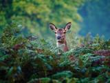 Female Red Deer (Cervus elaphus) - 175789236