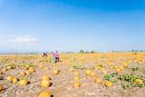 Pumpkin patch - 175791601
