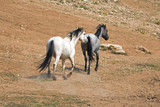 Pale Apricot Dun Buckskin stallion and Blue Roan mare wild horses running in the Pryor Mountains Wild Horse Range in Montana United States - 175791631