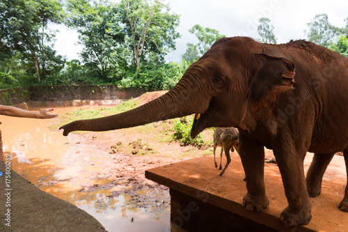 Red Indian elephant stretches from the corral trunk to visitors Poster