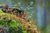 Moss with dewdrops growing in the forest - 175805447