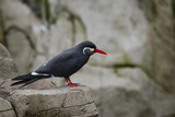 Portrait of ringed Inca Tern birds on rocks in natural habitat environment - 175807440