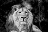 Beautiful portrait of Asiatic Lion Panthera Leo Persica in black and white - 175807460