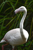Beautiful portrait of Greater Flamingo Phoenicopterus Roseus bird - 175808035