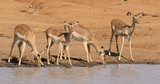 Impala antelopes (Aepyceros melampus) drinking water, Kruger National Park, South Africa - 175809297