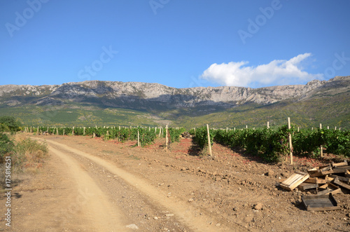 Staande foto Wijngaard Green vineyards in Crimea Ukraine with mountains at background