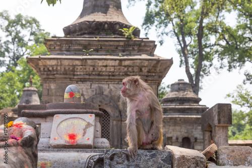 Fotobehang Aap A monkey looking around in Mrigasthali park near Pashupatinath Temple in Kathmandu, Nepal.