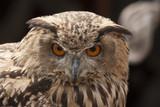 Eurasian eagle owl - 175821468