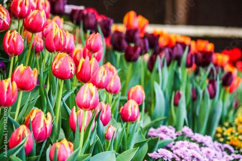 Fotobehang Tulpen Gardens colourful of tulips
