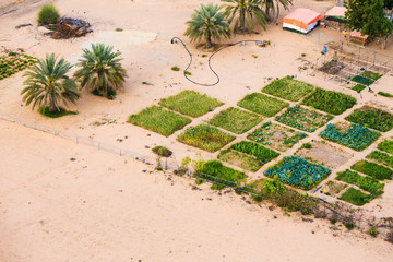 Date Plantation And Farm In The Desert
