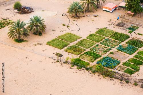 Papiers peints Dubai Date Plantation And Farm In The Desert