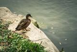 canards et pigeons pres d'un plan d'eau - 175839696