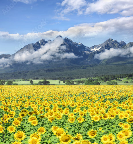 Fotobehang Blauwe hemel Field of sunflowers against the background of a mountains.