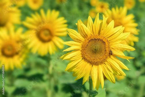 Fotobehang Meloen Sunflowers field landscape.