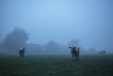 Three cows in misty rural landscape at dawn. - 175845409