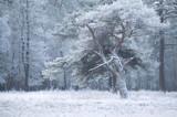 pine tree in winter frost - 175851072
