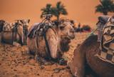 Camelcade at desert lands. Marruecos. - 175854890
