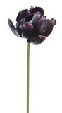 Black Parrot tulip flower isolated on white background