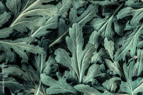 Foto op Canvas Natuur fresh green Chrysanthemum leaves texture background for design foliage pattern and backdrop