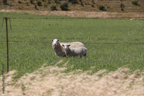 ニュージーランドの羊 Poster