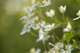 Decorative bush with white flowers on sunset. Clematis. - 175890696