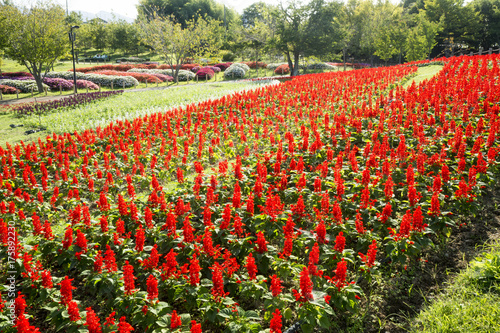 Fotobehang Tulpen サルビアの咲く公園