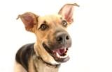Fototapety Happy Dog Isolated
