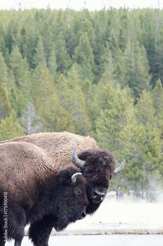 Fotobehang Bison two bisons in love