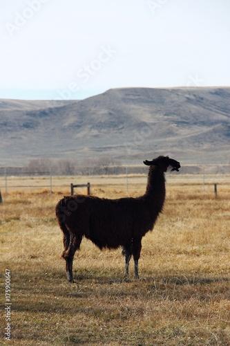 Fotobehang Kameel old big llama